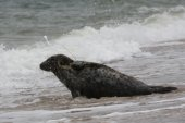 Edna, a female grey seal was rescued in April 2012 and released in June 2012 by researchers at the Riverhead Foundation.