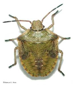 brown_stink_bug_nymph
